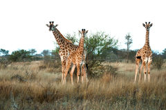 Baby Giraffe Trio Royalty Free Stock Photo