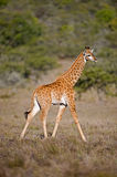 Baby Giraffe Walking. A baby giraffe walking past royalty free stock photos