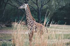 Baby Giraffe in the wild in South Florida. Looking around for safety royalty free stock photos