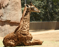 A Baby Giraffe in a Zoo. A Portrait of a Baby Giraffe in a Zoo royalty free stock photos