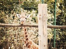 Baby giraffe. In the zoo stock image
