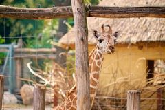 Baby giraffe. In the zoo royalty free stock photography