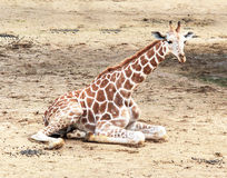 Baby giraffe in the zoo Stock Photography