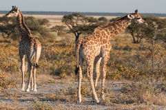Baby giraffes. In the Etosha national park in Namibia Royalty Free Stock Photos