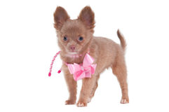 Baby girl chihuahua Royalty Free Stock Photo
