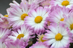 Baby Girl Fall Mums Royalty Free Stock Photo