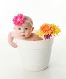 Baby girl in a flower pot. Portrait of an adorable baby girl sitting in a white flower pot along with bright gerbera daisies Royalty Free Stock Images