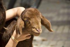 Baby girl keeping lamb. At home Stock Image