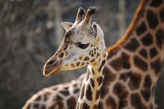Baby girrafe head close to adult one Stock Photo