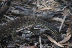 Baby Goanna. A wild baby goanna in the Australian bush sticking its tongue out stock photos
