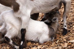 Baby goat. Drinking milk from mother goat Stock Photography