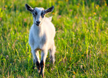 Baby goat. At the summer Stock Photo