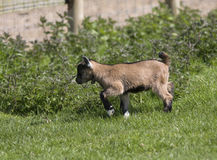 Baby Goat. A kid baby goat on the meadow royalty free stock photography