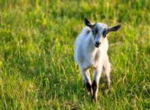 Baby goat. On the field Royalty Free Stock Images
