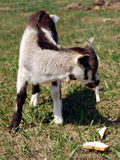 Baby Goat. Or Kid having a snack of bread Stock Photo