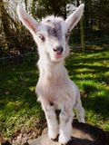 Baby goat. 2 week old goat kid Stock Image
