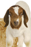 Baby goat. South african boer kid - one week old Royalty Free Stock Images
