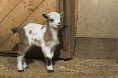 Baby goat. Standing in front of a barn stock image