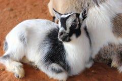 Baby Goat. Close up view of a baby goat, Capra aegagrus hircus Stock Images