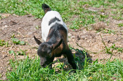Free Baby Goat Royalty Free Stock Photography - 43891897