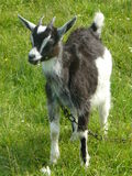 Baby goat. Back and white baby goat tied to a chain Royalty Free Stock Photos