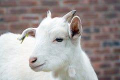 Baby Goat. A kid in a farmyard stock photos