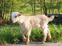 Free Baby Goat Stock Photography - 708122