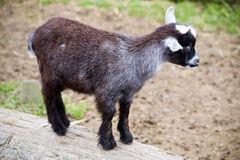 Baby goat. A baby goat standing on a log Royalty Free Stock Photo