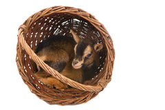 Baby goat in basket Royalty Free Stock Photography
