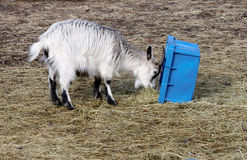 Baby goat and blue box Royalty Free Stock Image