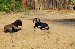 Baby goat (Capra aegagrus hircus) Royalty Free Stock Images