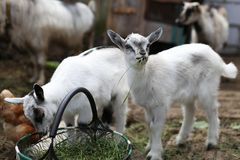 A baby goat eating grass. With his sister who loves greens too, they are very cute royalty free stock images