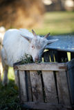 Baby goat eating hay Royalty Free Stock Photography