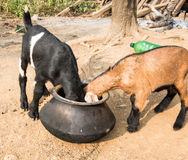 Baby Goat eating out of Kettle Royalty Free Stock Image