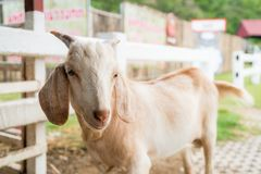 Baby goat in a farm. Cute baby goat in a farm royalty free stock images