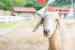 Baby goat in a farm. Cute baby goat in a farm stock photo