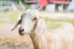 Baby goat in a farm. Cute baby goat in a farm stock photography