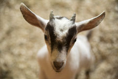 Baby Goat in a farm Royalty Free Stock Image