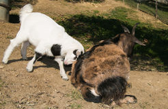 Baby goat fighting with her mother. Portrait of baby goat fighting with her mother stock photography