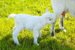 Baby goat and goats udder Royalty Free Stock Images