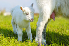 Baby goat and goats udder Stock Image