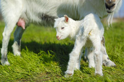 Baby goat and goats udder Stock Photo