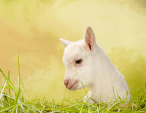 Baby goat in grass Royalty Free Stock Images