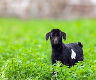 Baby goat in a grass field Royalty Free Stock Photos