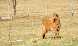 Baby goat grazing Stock Images