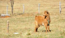 Baby goat grazing. A baby goat grazing,Bucegi Mountains,Romania stock images