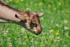 Baby Goat Grazing. A baby goat grazing in a farm Royalty Free Stock Photography