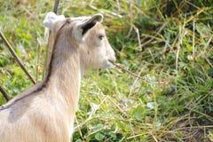 Baby Goat Grazing Stock Image