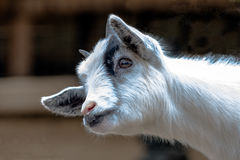 Baby goat head and neck. Close up of a white and black Pygmy goat kid head and neck Stock Photos