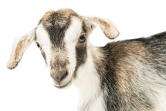 Baby goat head. On a white background Royalty Free Stock Image